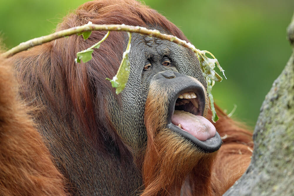 1000x667 > Orangutan Wallpapers