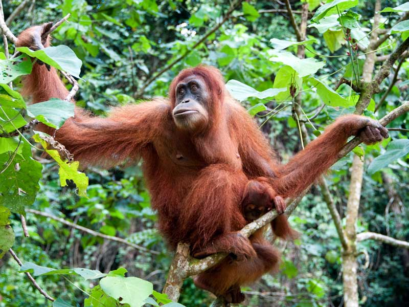 HD Quality Wallpaper | Collection: Animal, 800x600 Orangutan