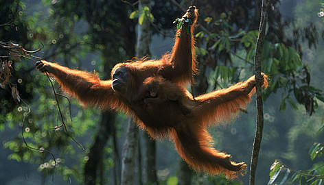 Orangutan Backgrounds, Compatible - PC, Mobile, Gadgets| 472x270 px
