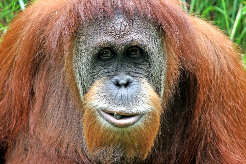 Orangutan Backgrounds on Wallpapers Vista