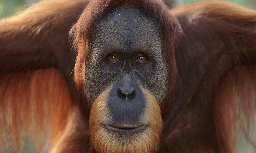 1000x600 > Orangutan Wallpapers