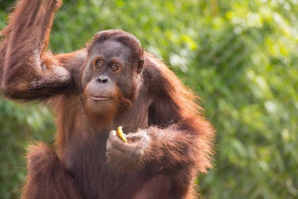 Images of Orangutan | 590x394