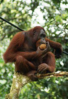 Orangutan #12