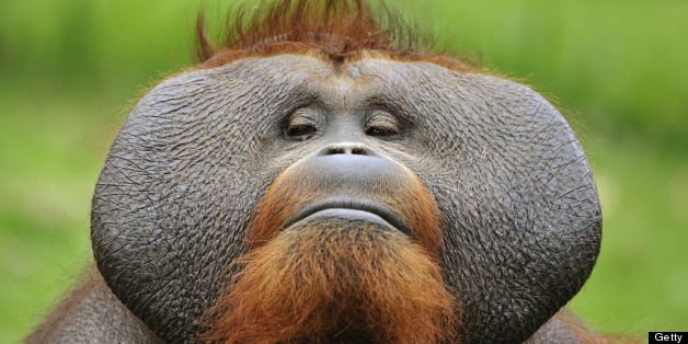 High Resolution Wallpaper | Orangutan 628x314 px