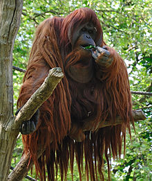 HD Quality Wallpaper | Collection: Animal, 220x261 Orangutan