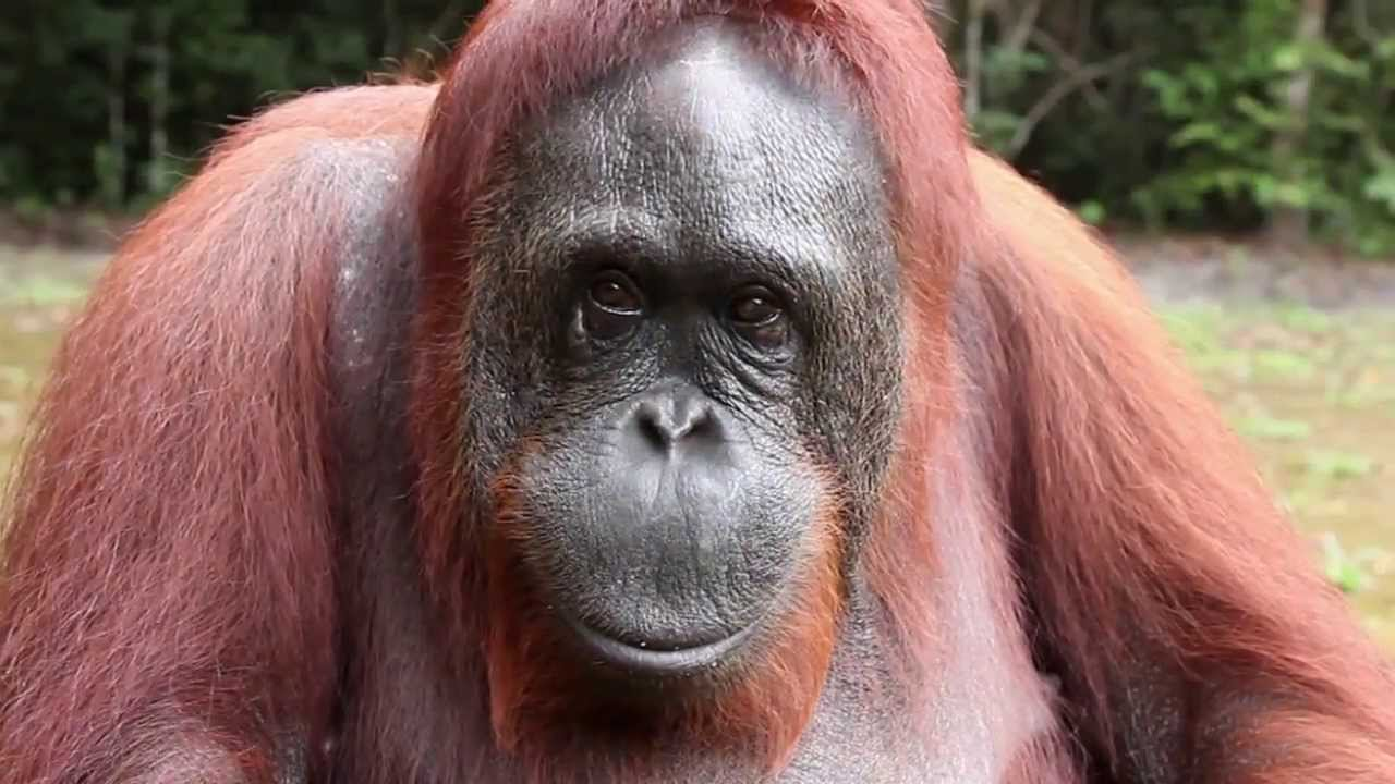 HQ Orangutan Wallpapers | File 99.76Kb