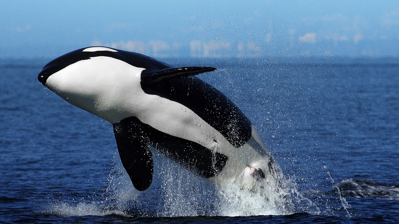 HQ Orca Wallpapers | File 1291.1Kb