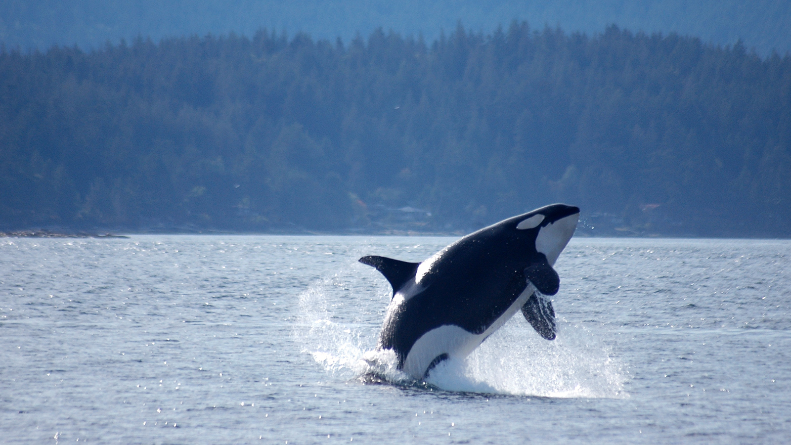 Amazing Orca Pictures & Backgrounds
