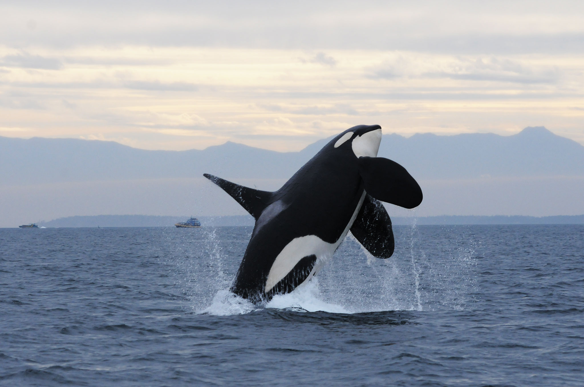 Nice wallpapers Orca 2048x1360px