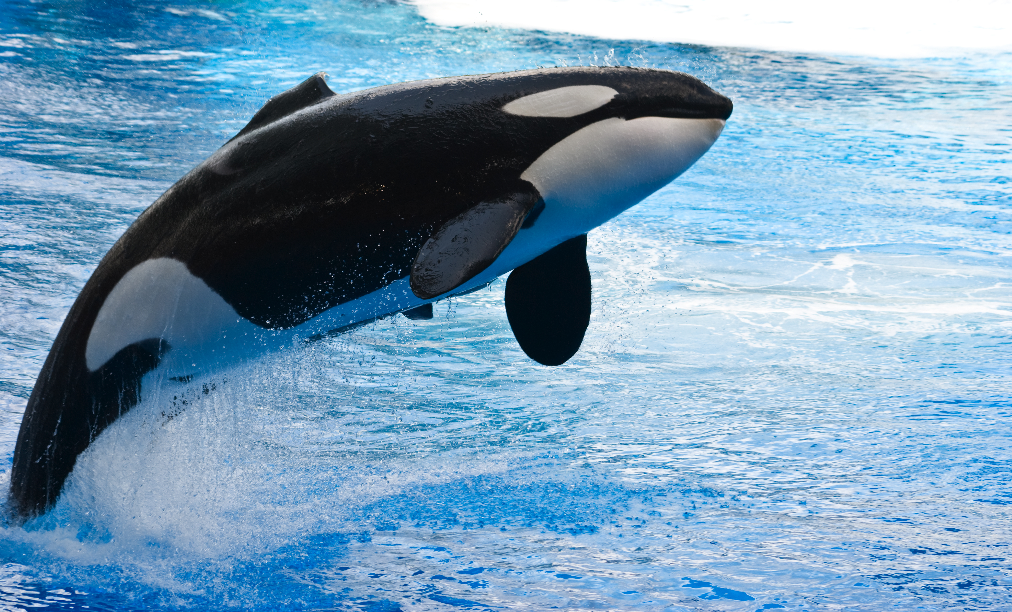 HQ Orca Wallpapers | File 6886.57Kb