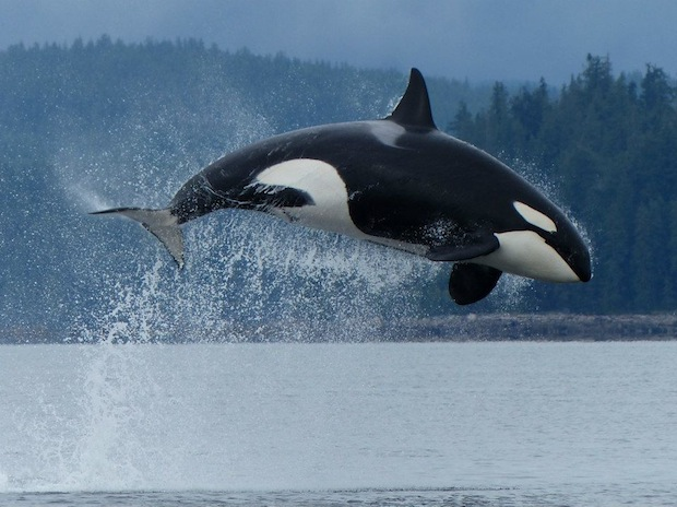 Orca Backgrounds on Wallpapers Vista