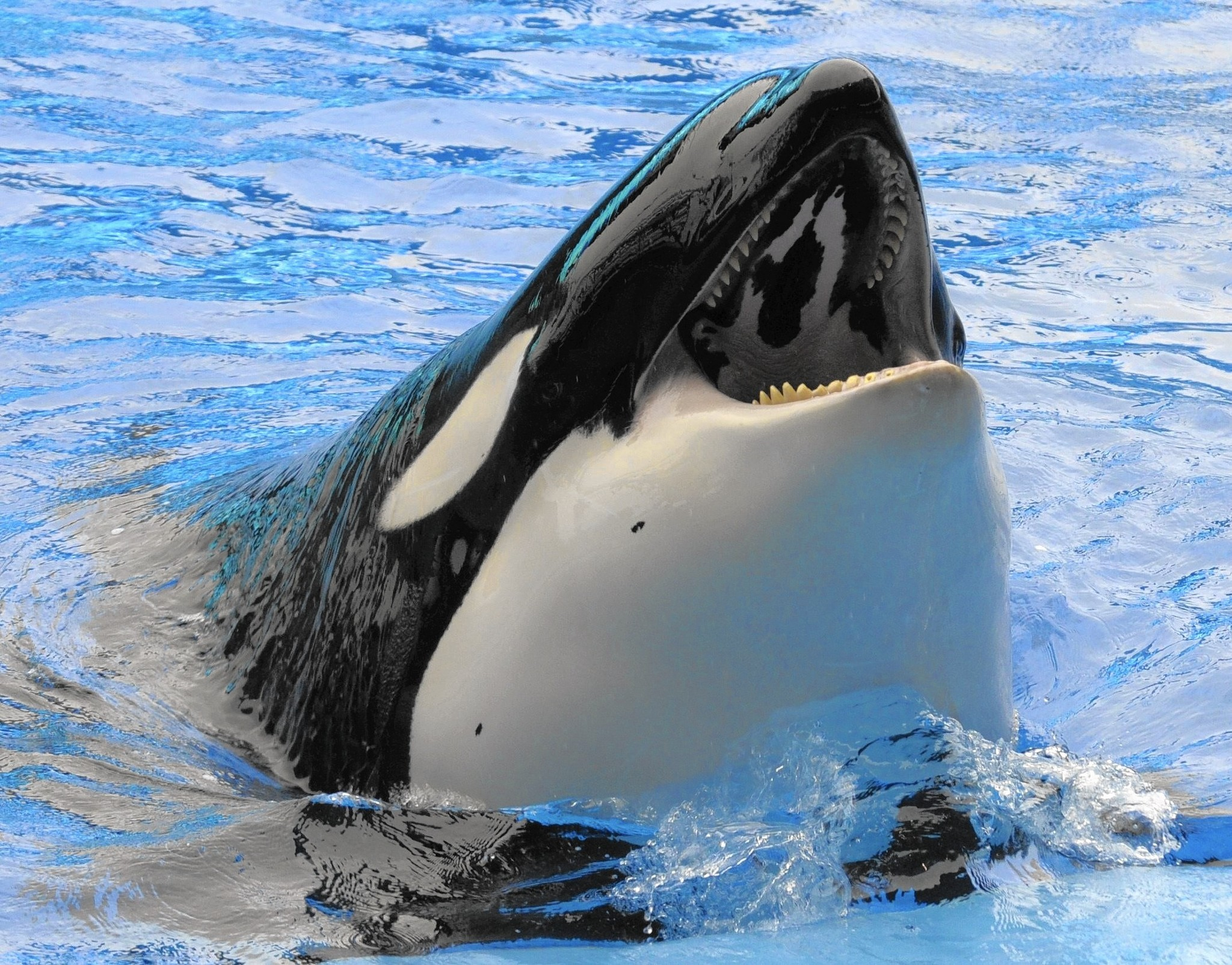 Orca High Quality Background on Wallpapers Vista