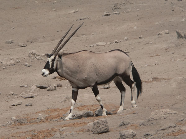 Nice Images Collection: Oryx Desktop Wallpapers