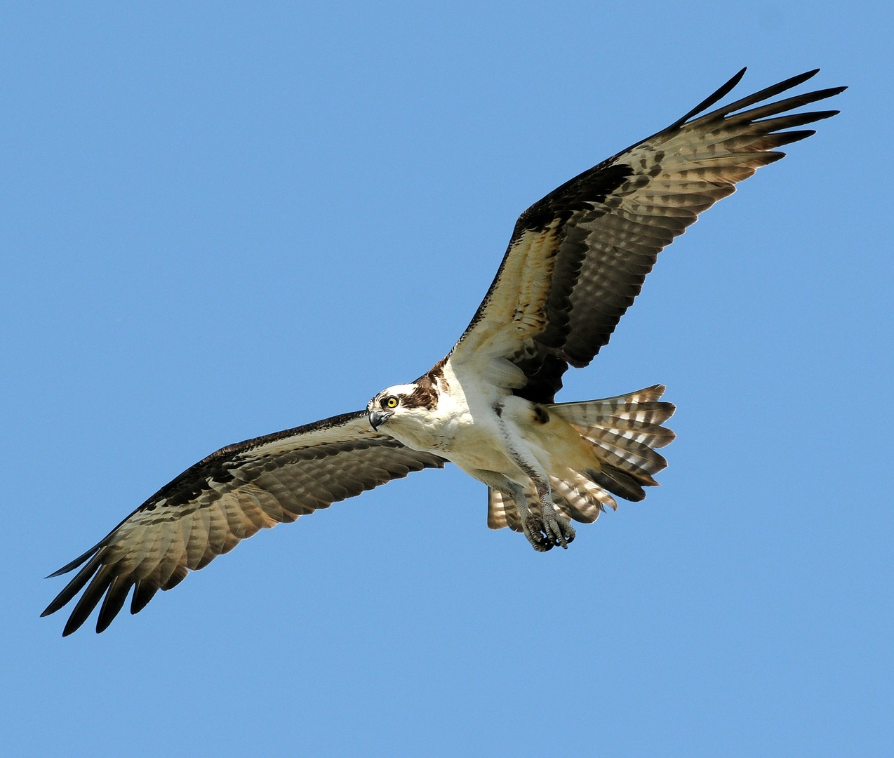Osprey Backgrounds, Compatible - PC, Mobile, Gadgets| 1274x1080 px