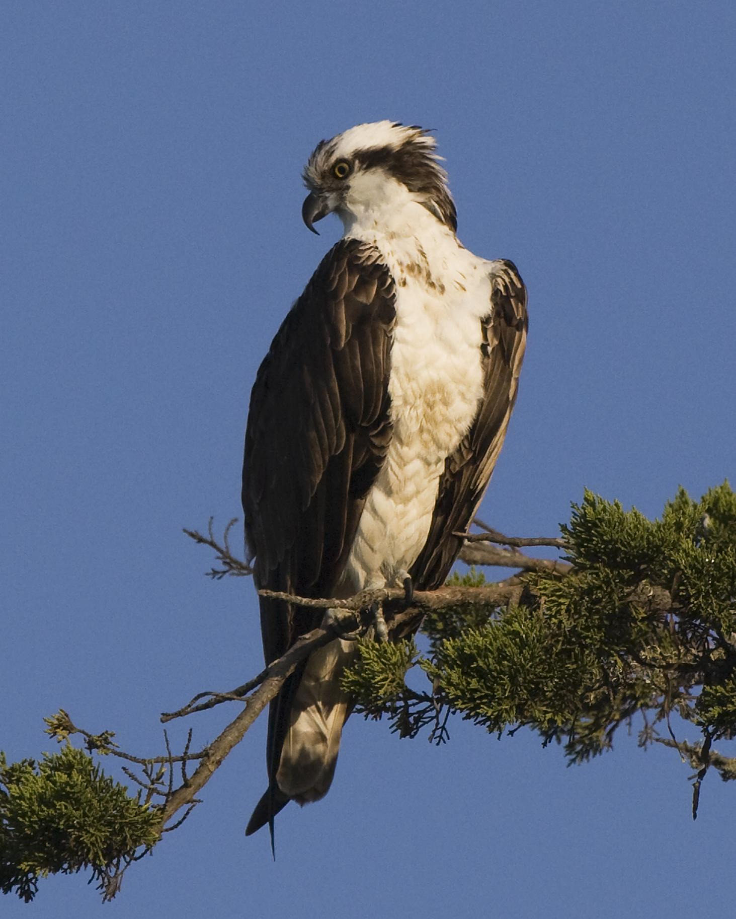 Images of Osprey | 1463x1825