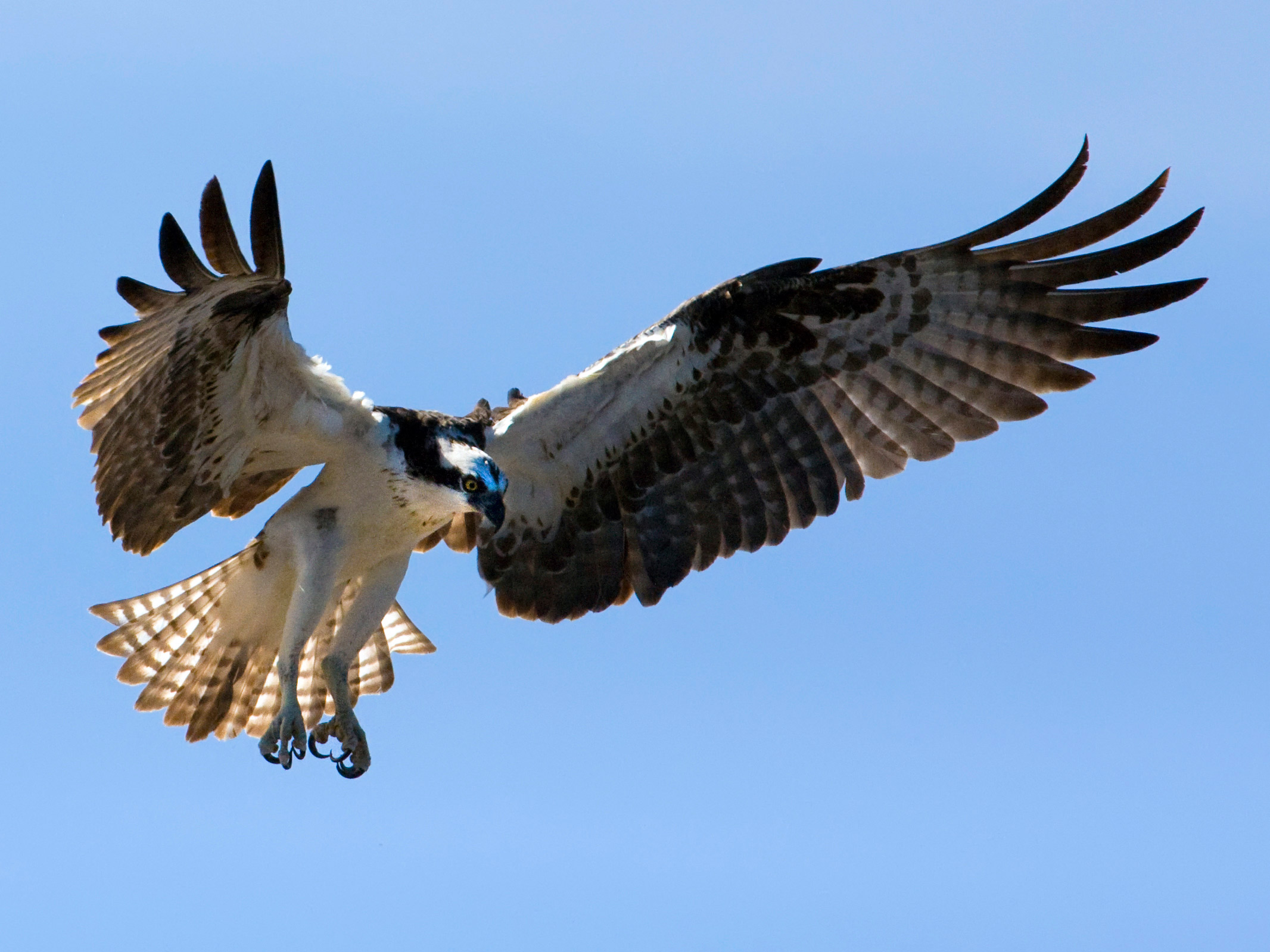 Amazing Osprey Pictures & Backgrounds