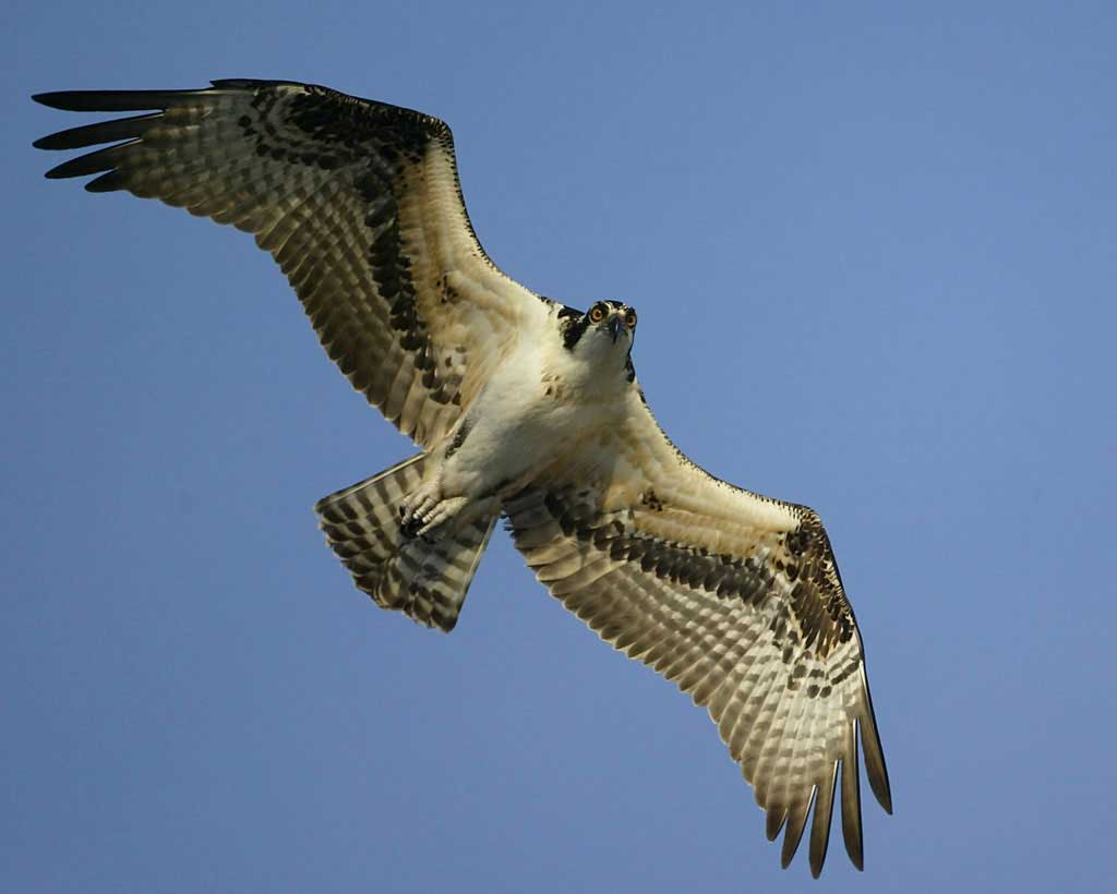 1024x820 > Osprey Wallpapers