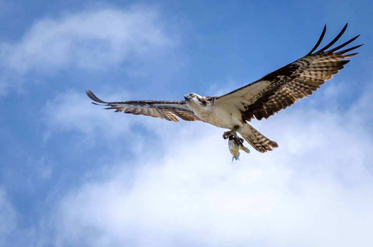HD Quality Wallpaper | Collection: Animal, 1200x795 Osprey