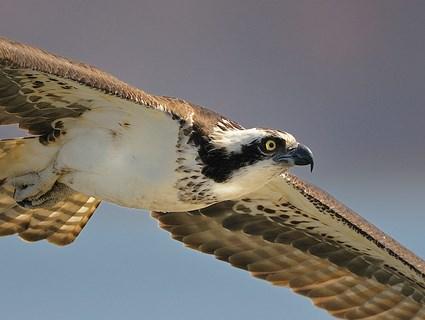 Osprey Pics, Animal Collection