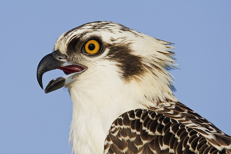 Osprey High Quality Background on Wallpapers Vista