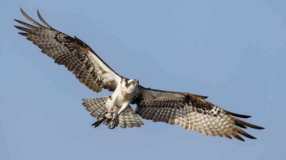 1000x561 > Osprey Wallpapers