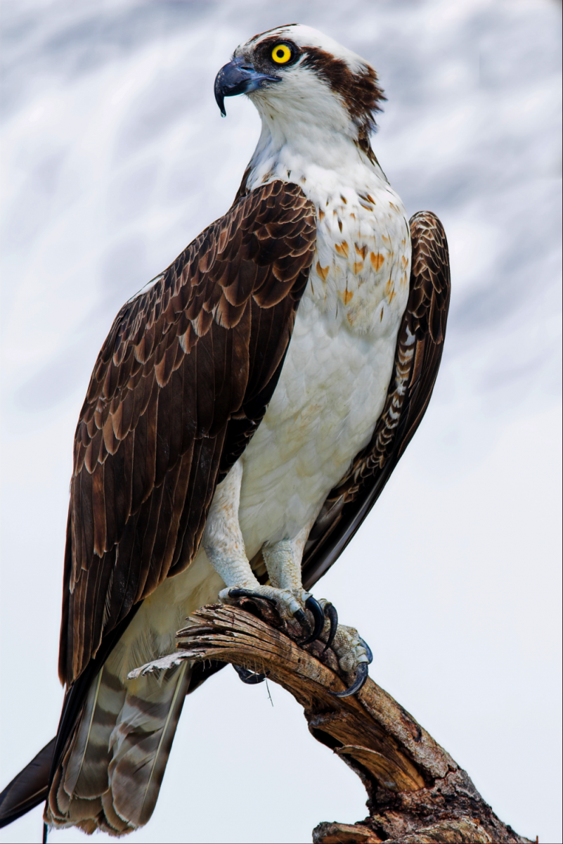 Nice Images Collection: Osprey Desktop Wallpapers