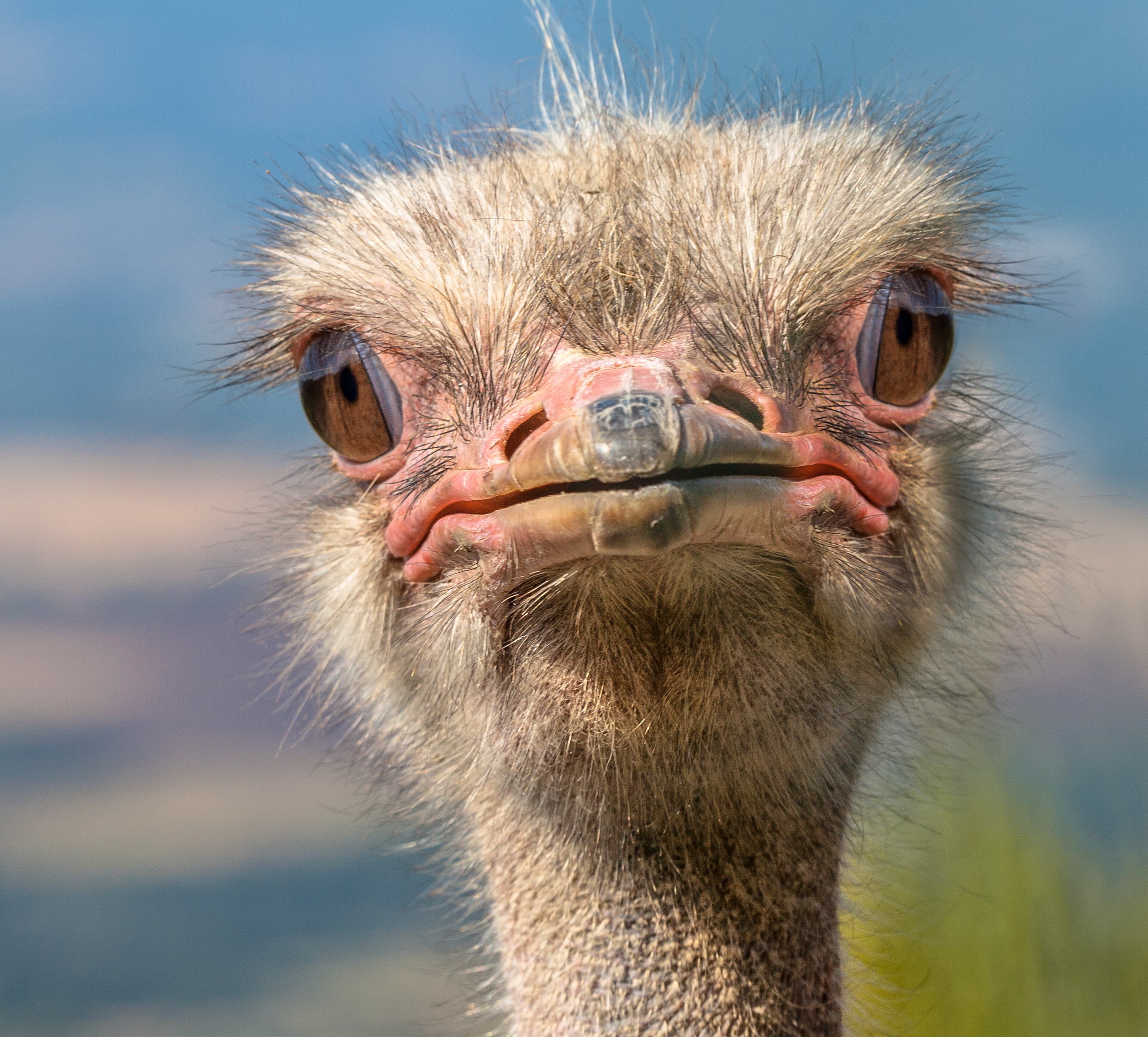 Ostrich Pics, Animal Collection