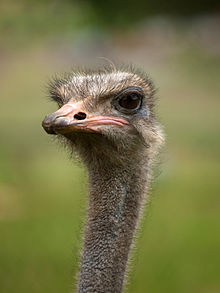 Ostrich Backgrounds on Wallpapers Vista
