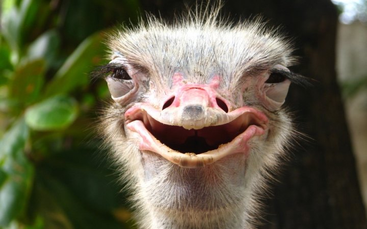 High Resolution Wallpaper | Ostrich 720x450 px