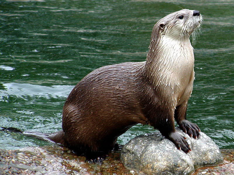 Otter Backgrounds on Wallpapers Vista