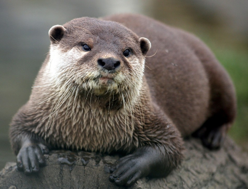 Otter Pics, Animal Collection