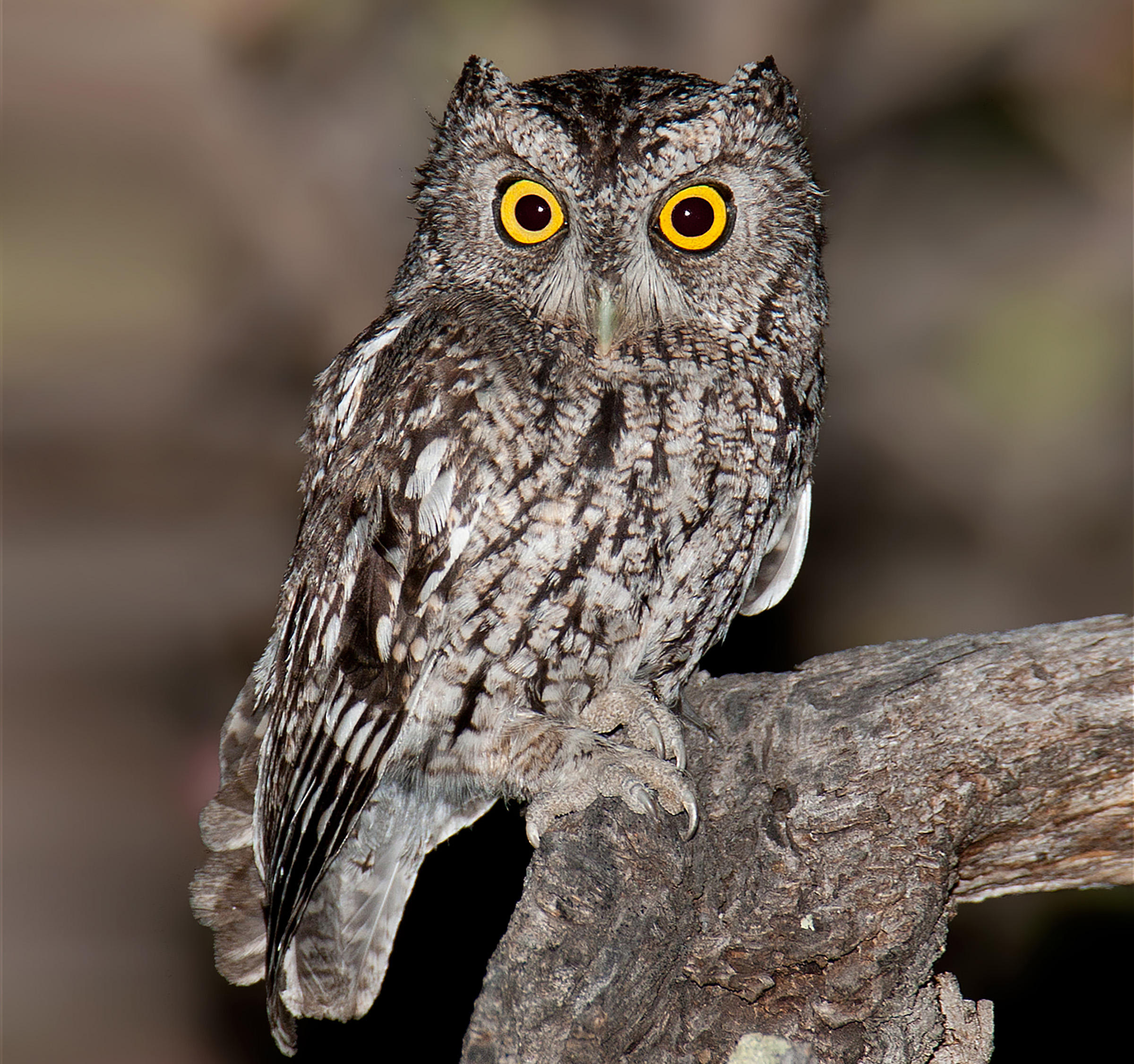 Nice Images Collection: Owl Desktop Wallpapers