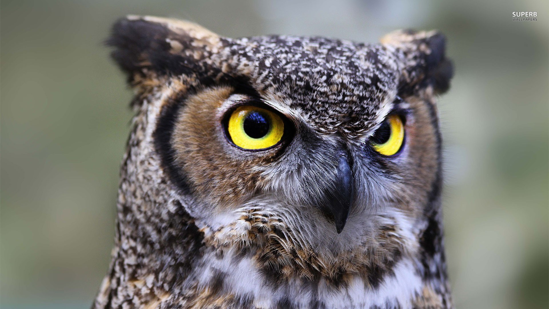 Owl High Quality Background on Wallpapers Vista