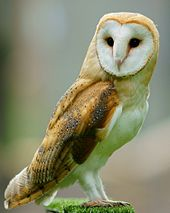 Owl Backgrounds on Wallpapers Vista