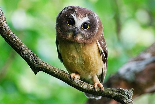Amazing Owl Pictures & Backgrounds
