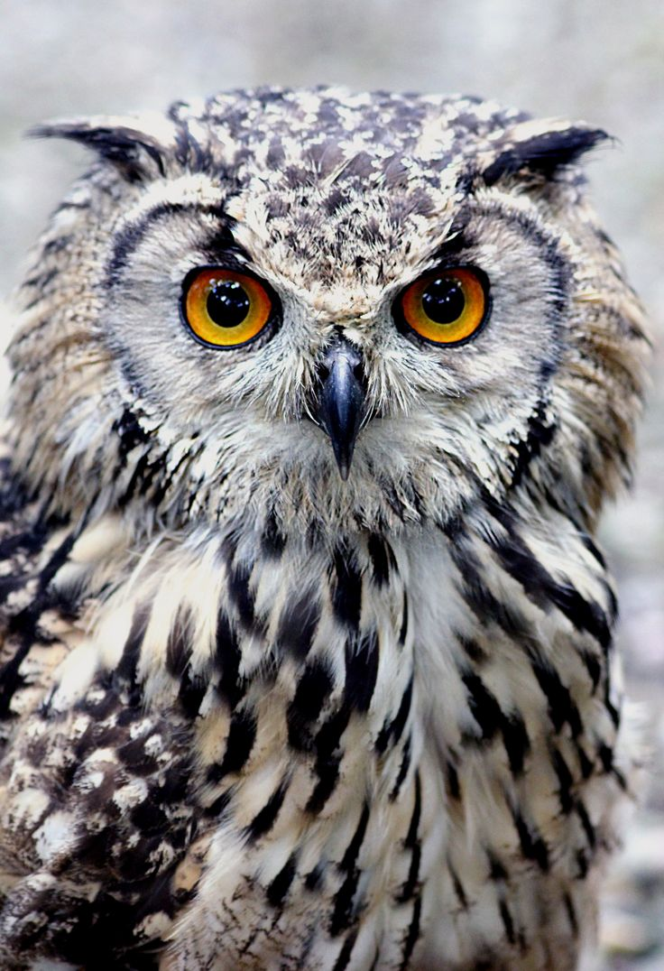 Nice wallpapers Owl 736x1076px