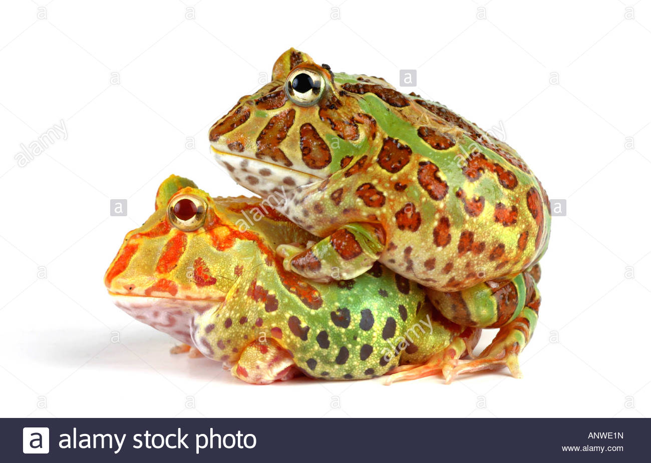 Amazing Pac-man Frog Pictures & Backgrounds