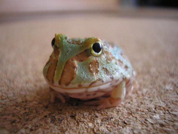 HD Quality Wallpaper | Collection: Animal, 600x450 Pac-man Frog