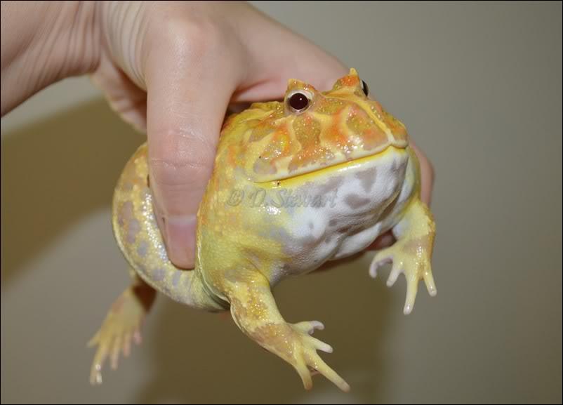 Pac-man Frog Pics, Animal Collection