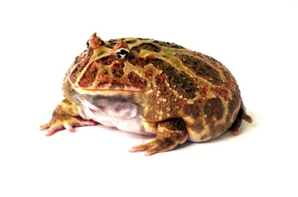 High Resolution Wallpaper | Pac-man Frog 424x281 px