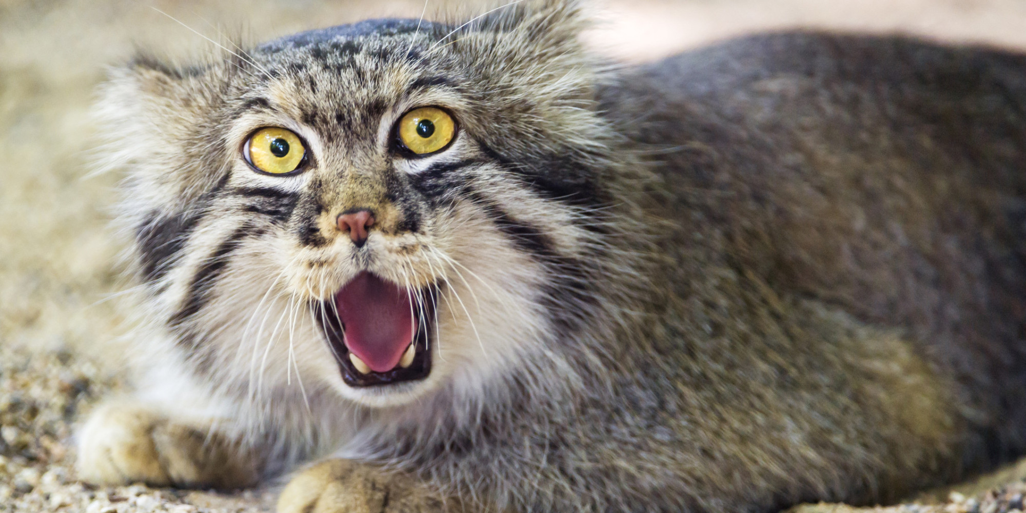 HD Quality Wallpaper | Collection: Animal, 2000x1000 Pallas's Cat