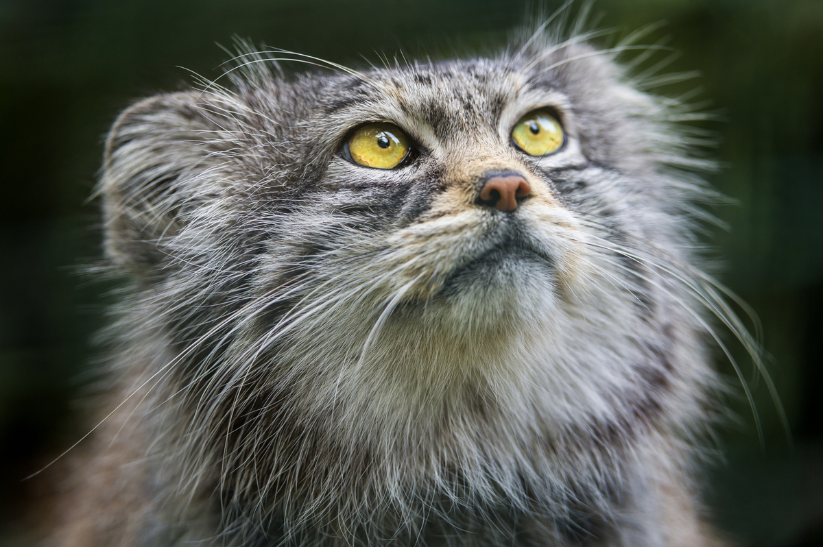 Pallas's Cat High Quality Background on Wallpapers Vista
