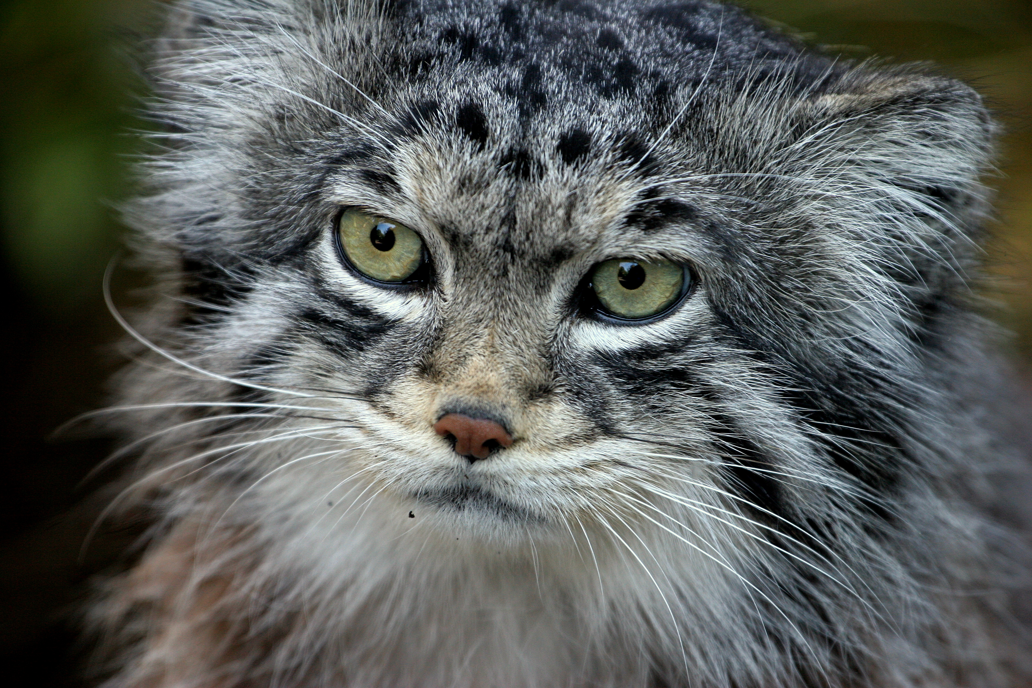 Pallas's Cat Backgrounds on Wallpapers Vista