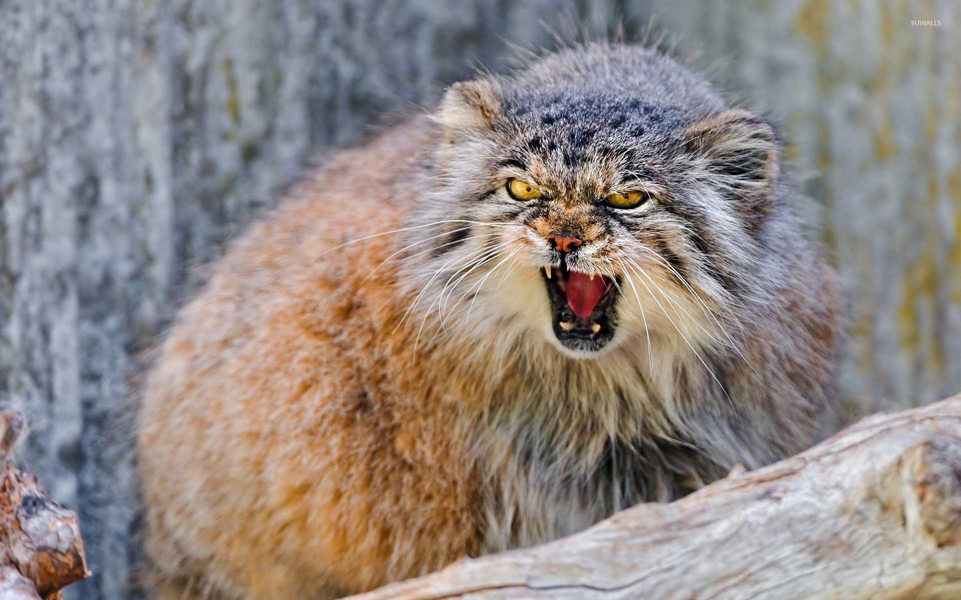Nice wallpapers Pallas's Cat 1920x1200px