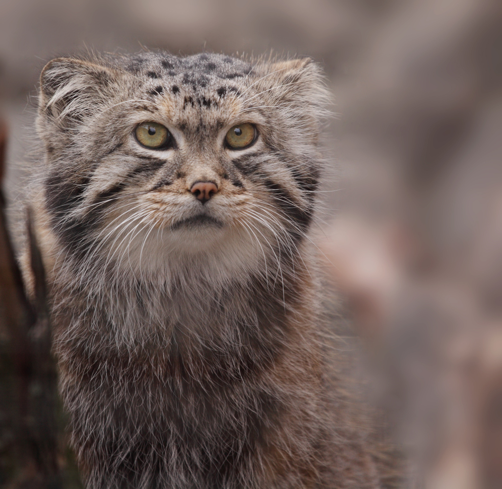 HQ Pallas's Cat Wallpapers | File 564Kb