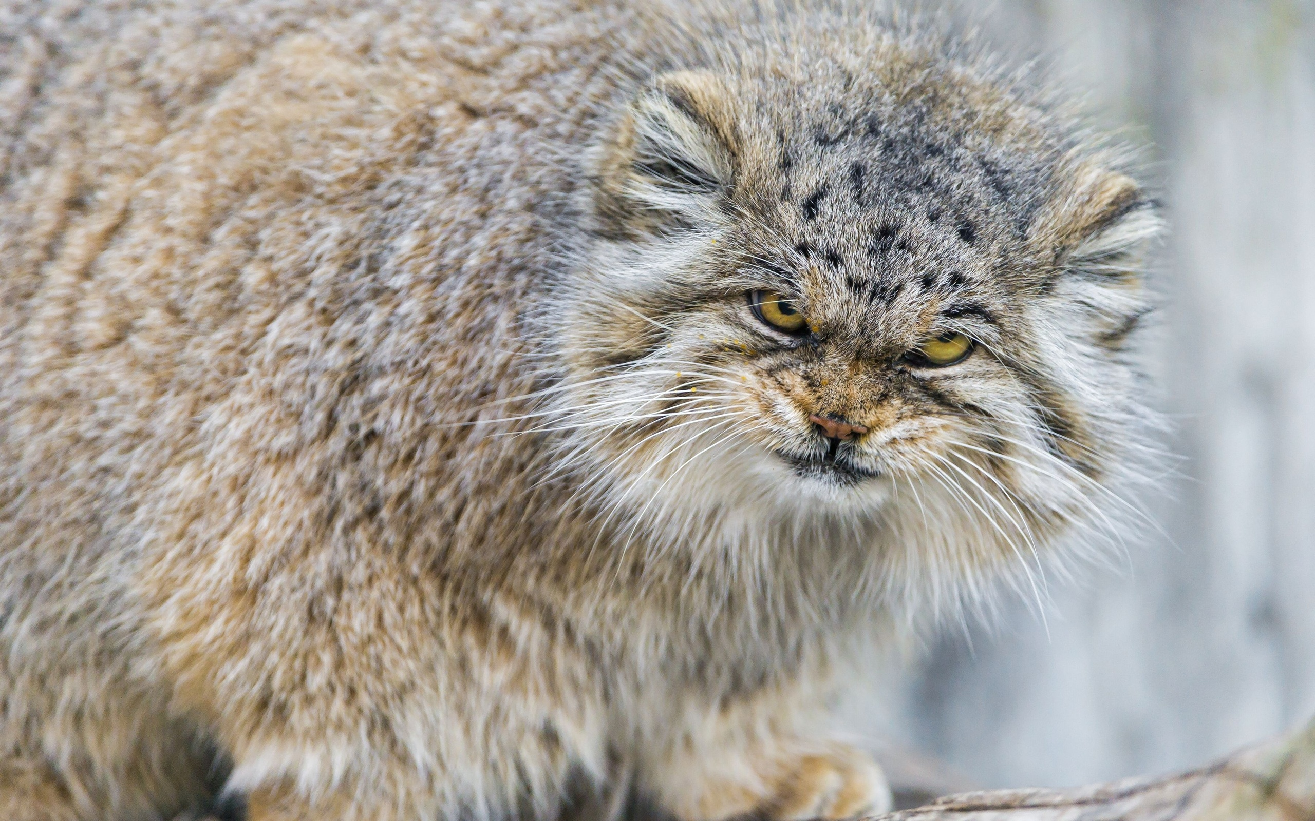 2560x1600 > Pallas's Cat Wallpapers