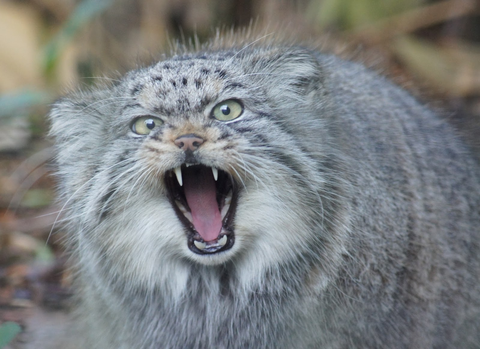 HD Quality Wallpaper | Collection: Animal, 1600x1162 Pallas's Cat