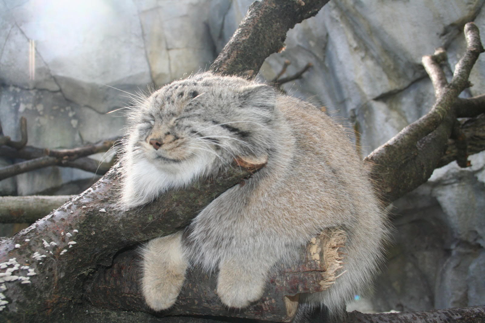 Nice Images Collection: Pallas's Cat Desktop Wallpapers