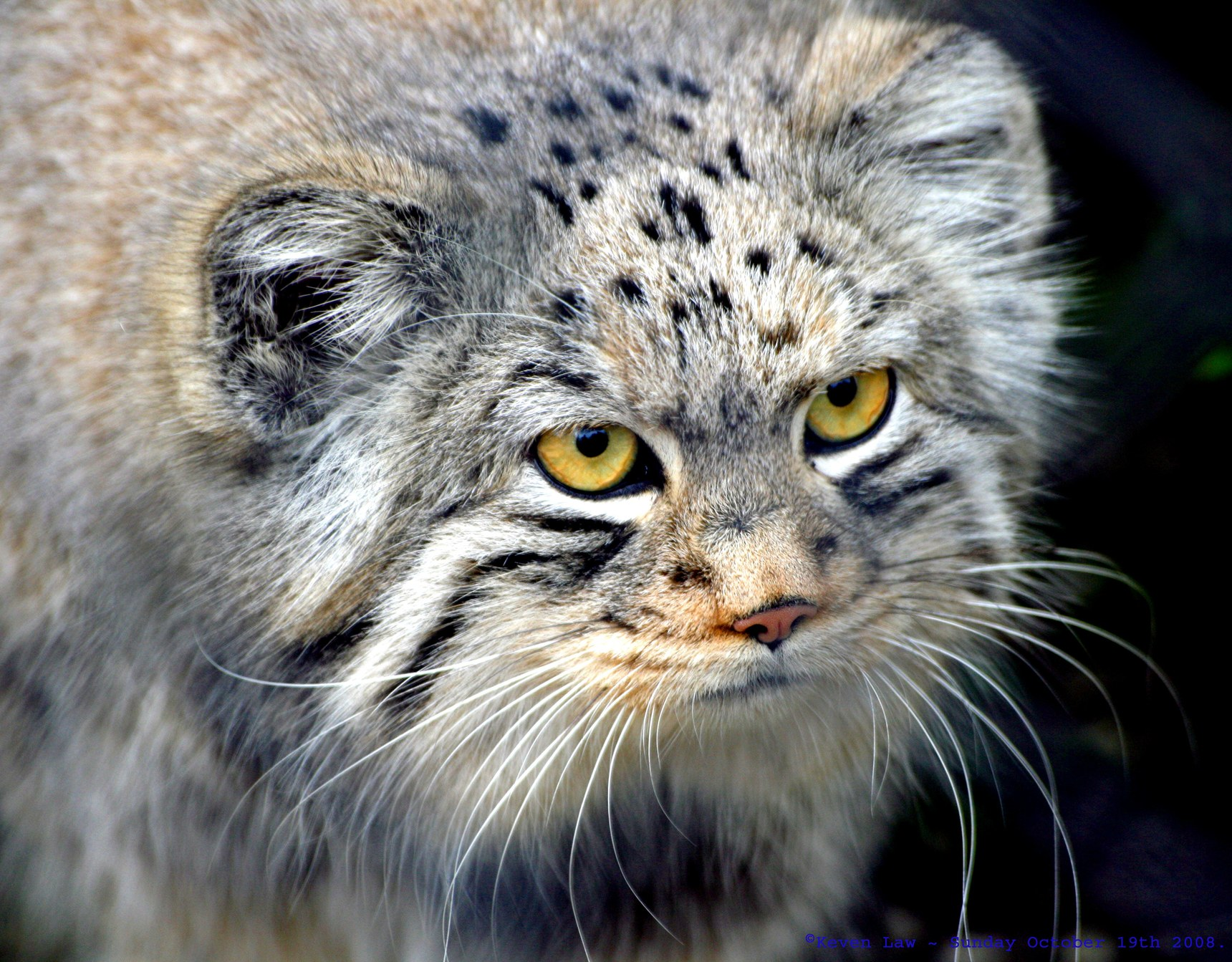 Images of Pallas's Cat | 1720x1343