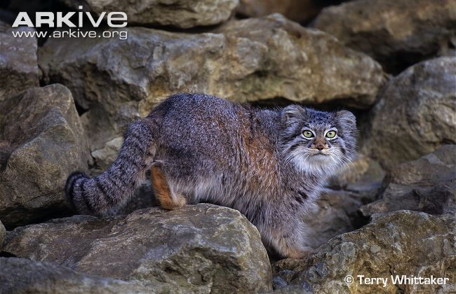 HQ Pallas's Cat Wallpapers | File 78.45Kb